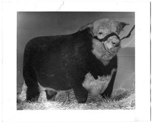 Primary view of object titled 'King Husker, Grand Champion Hereford Bull'.
