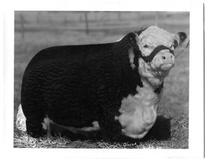 Primary view of object titled 'CMR Advance Larollo, a Polled Hereford Bull'.