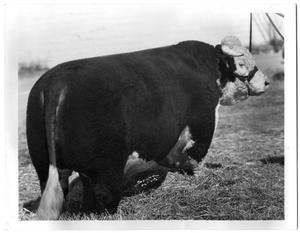 Primary view of object titled 'H Prince Domino, Champion Bull'.