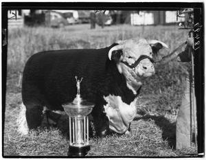 Primary view of object titled 'T Royal Rupert 60th, Champion Hereford Bull'.