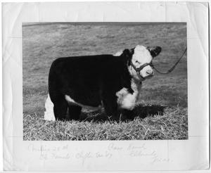 Primary view of object titled 'Coraline 28th, Champion Female Heifer'.