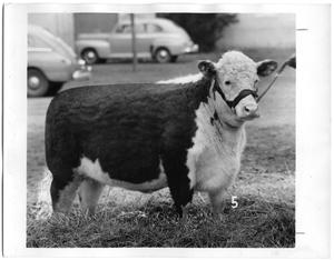 Primary view of object titled 'Belle Brummel Ret., Champion Polled Hereford Heifer'.