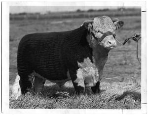 Primary view of object titled 'Pipperoo Domino, Hereford Bull'.