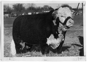 Primary view of object titled 'Hereford Bull'.