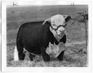 Primary view of object titled 'LHR Baca Royal 15th, Hereford Bull'.