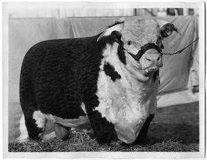Primary view of object titled 'Coronaster Lad 233rd, Champion Bull'.
