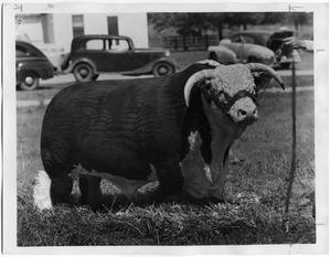 Primary view of object titled 'Dan Domino 118th, Hereford Bull'.
