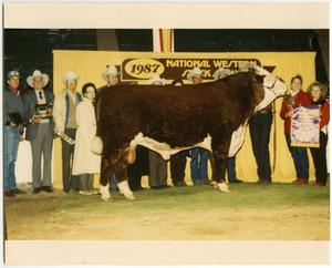 Primary view of object titled 'Champion Bull at National Western Stock Show, 1987'.