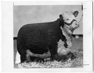 Primary view of object titled 'Miss Royal Mixer 12, Hereford Heifer'.