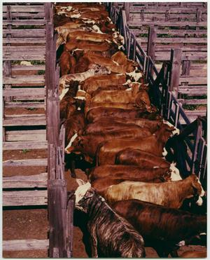 Primary view of object titled 'Cattle at Feedlot'.