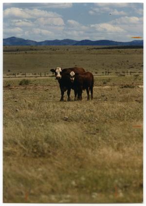 Primary view of object titled 'Crossbred Cattle'.