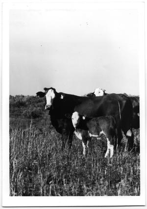 Primary view of object titled 'Crossbred Cow and Calf'.
