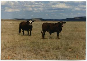 Primary view of object titled 'Crossbreed Cattle'.