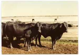 Primary view of object titled 'Brahman/Angus Cattle'.