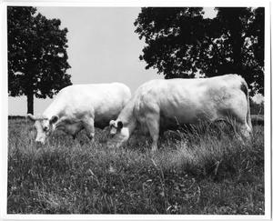 Primary view of object titled 'Charolais Cows'.