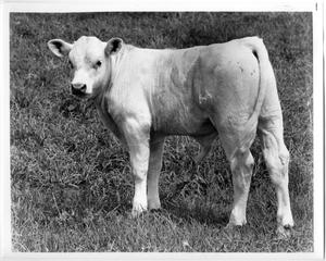 Primary view of object titled 'Charolais Calf'.
