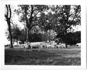 Primary view of object titled 'Charolais Cows and Calves'.