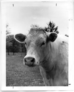 Primary view of object titled 'Charolais Cow'.