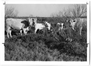 Primary view of object titled 'Charolais Cattle'.