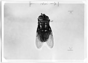 Primary view of object titled 'Female Screwworm Fly'.