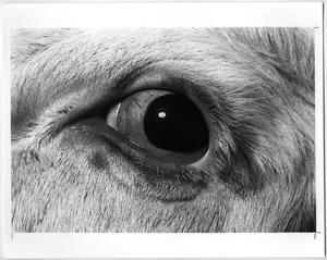 Primary view of object titled 'Cattle with Cancer Eye'.
