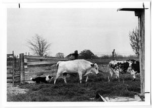 Primary view of object titled 'Border Collie Herding Cattle'.