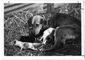 Primary view of object titled 'Leopard Cow Dog and Puppies'.