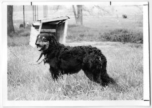 Primary view of object titled 'English Shepherd'.