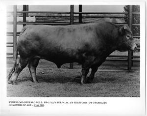 Primary view of object titled 'Purebred Beefalo Bull'.