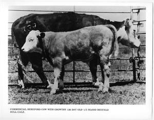 Primary view of object titled 'Hereford Cow and Beefalo Bull Calf'.