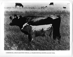 Primary view of object titled '1/2 Blood Beefalo Heifer and Angus Dam'.