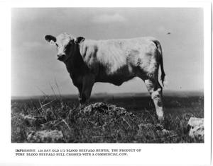 Primary view of object titled '1/2 Blood Beefalo Heifer'.