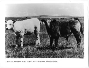 Primary view of object titled 'Beefalo Heifer and Bull Calf'.