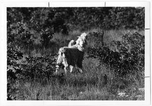 Primary view of object titled 'Sheep on Hunters Ranch'.