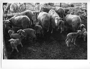 Primary view of object titled 'Corral Full of Branded Sheep'.