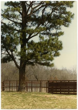 Primary view of object titled 'Pine Tree Over a Corral'.