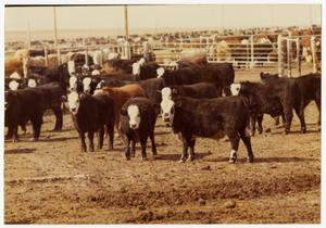 Primary view of object titled 'Cows in a Feedlot'.