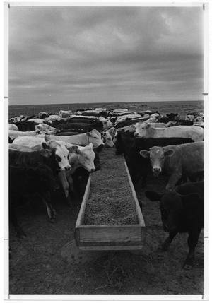 Primary view of object titled 'Cows Eating From Trough'.