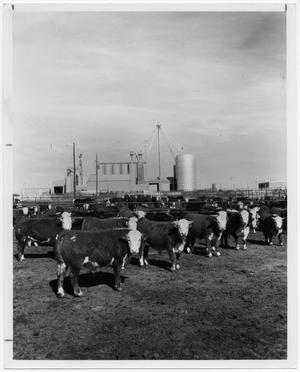Primary view of object titled '[Field of cattle next to grain elevators]'.