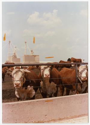 Primary view of object titled 'Cows Peering Through a Fence'.