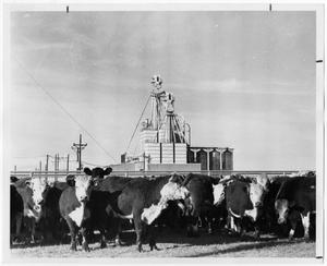 Primary view of object titled 'Caddle in a Feed Lot'.