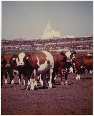 Primary view of object titled 'Cattle in a Feed Lot'.