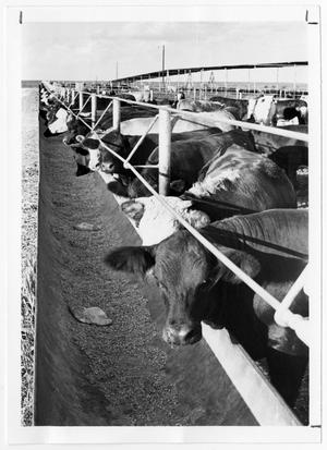 Primary view of object titled 'Catttle at Feedlot'.
