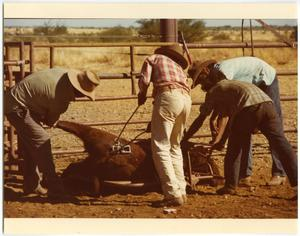 Primary view of object titled 'Four Cowboys Branding a Calf'.