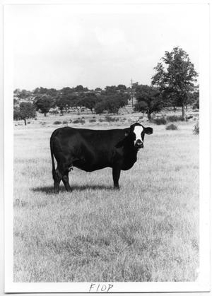 Primary view of object titled 'Black Cow with White Face'.