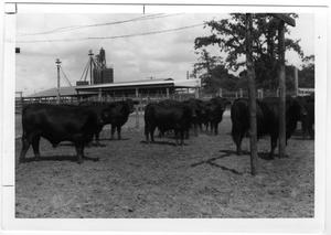 Primary view of object titled 'Willow Springs Brangus Steers'.