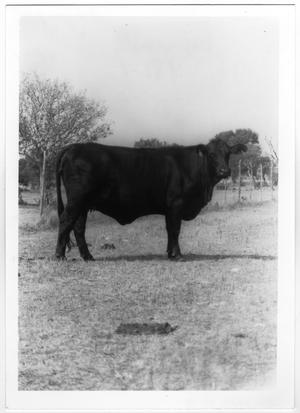 Primary view of object titled 'Large Black Cow'.