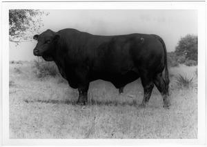 Primary view of object titled 'Large Black Bull'.