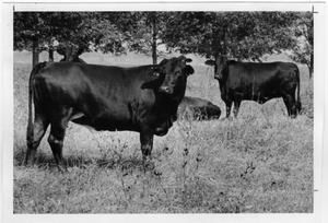 Primary view of object titled 'Leonard Ranch Brangus Cattle, 1970'.
