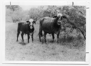 Primary view of object titled '[Cattle in a pasture]'.